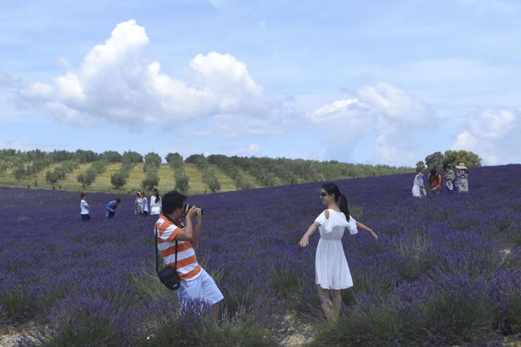 provence-lavender_0528