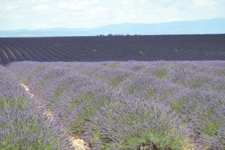 provence-lavender_0552