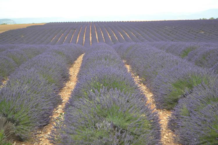 provence-lavender_0555