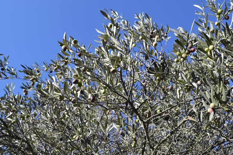 Olive-picking-in-December-119
