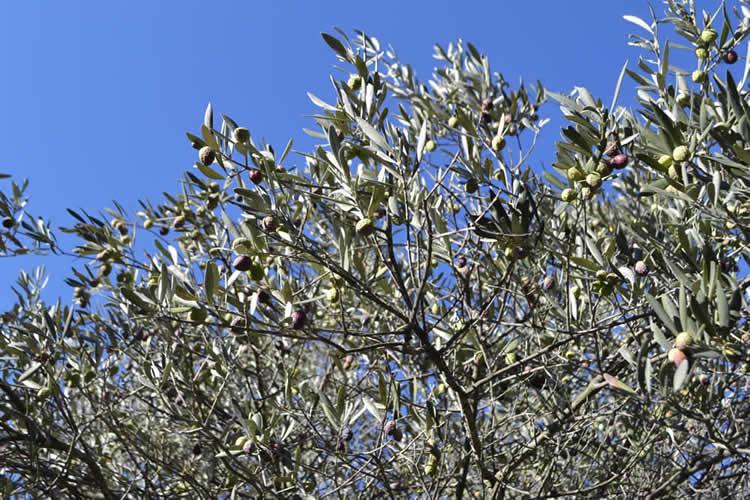 Olive-picking-in-December-119