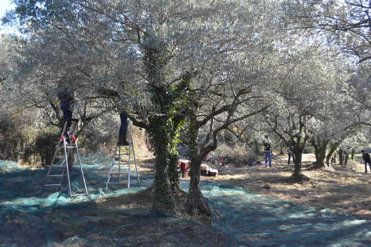 Olive-picking-in-December-120