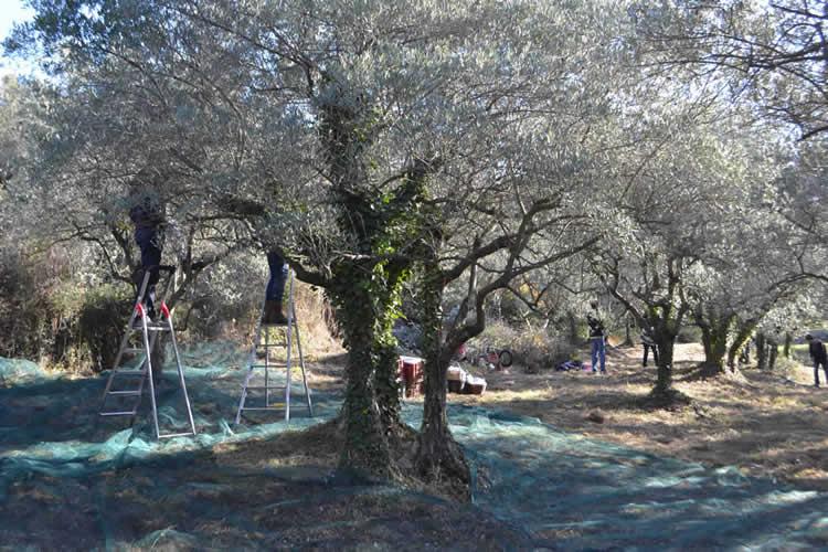 Olive-picking-in-December-120