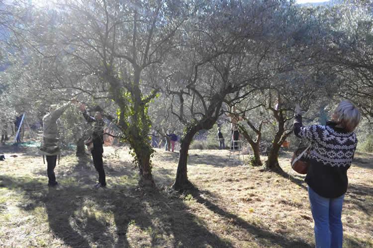 Olive-picking-in-December-122