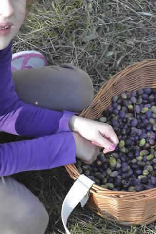 Olive-picking-in-December-123