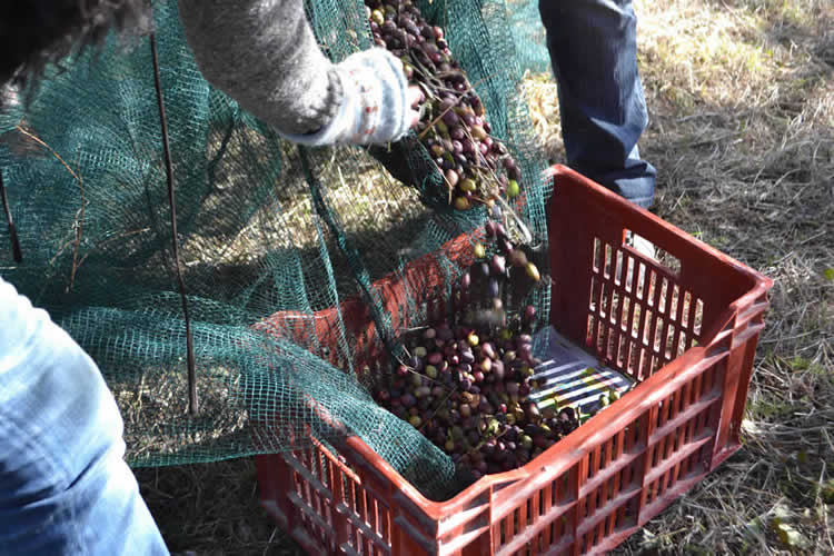 Olive-picking-in-December-125
