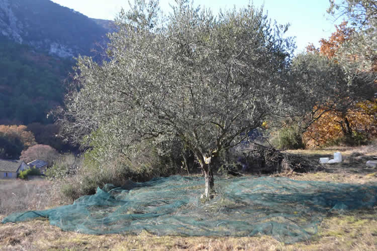 Olive-picking-in-December-129