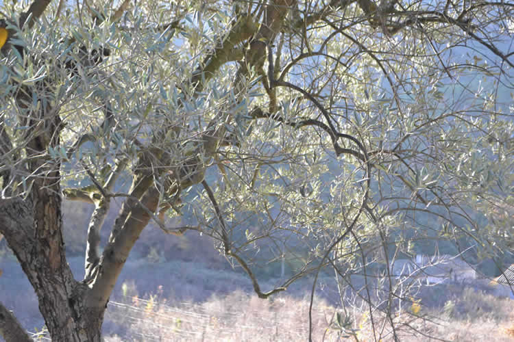 Olive-picking-in-December-131