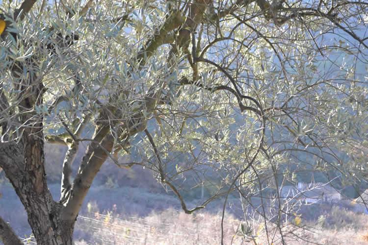 Olive-picking-in-December-131