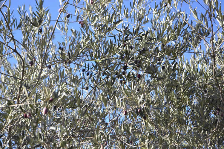 Olive-picking-in-December-135